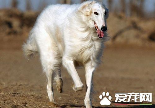 苏俄猎狼犬的智商 苏俄猎狼犬智商不是很高
